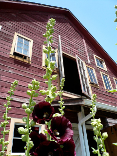Barn with Hollyhocks